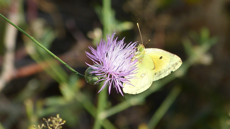 Flormariposa