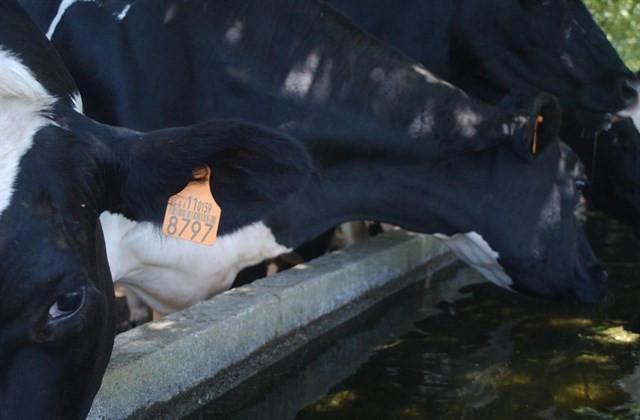 Vacas 18