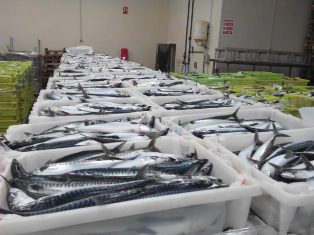 Interceptadas seis toneladas de caballa no declarada en ina bodega oculta en un pesquero en Burela (Lugo).