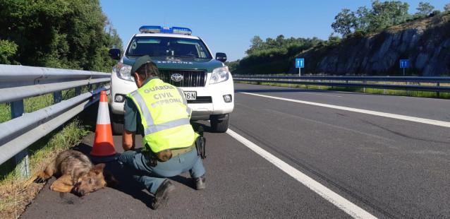 Animal atropellado en una carretera de la provincia de Ourense.