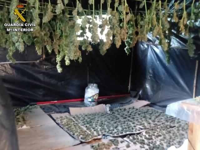 Desmantelada una plantación de marihuana en Soutomaior (Pontevedra).