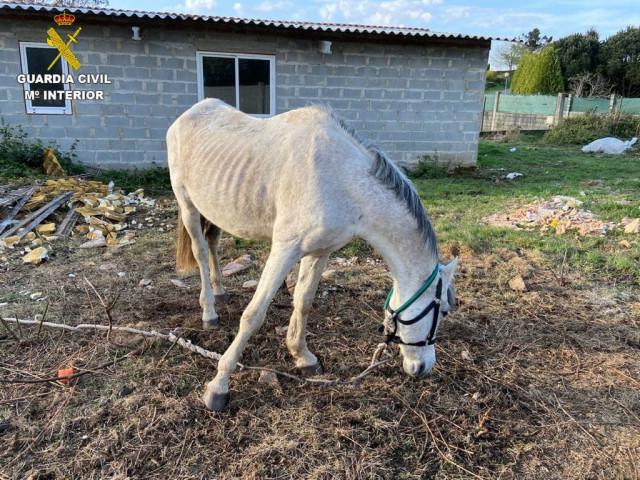 Caballo desnutrido hallado por la Guardia Civil por lo que han sido investigados un vecino de Cerceda y otro de A Coruña como presuntos  Autores de un delito de maltrato animal.