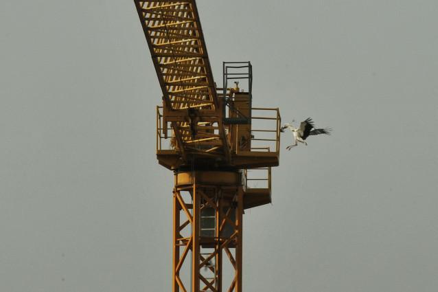 Archivo - Dos cigüeñas, conocidas como 'Auria' y 'Ramón', en un nido instalado en la grúa de las obras de rehabilitación del Museo Arqueológico Provincial de Ourense, a 31 de marzo de 2021, en Galicia (España). Este es uno de los dos nidos de cigüeñas par