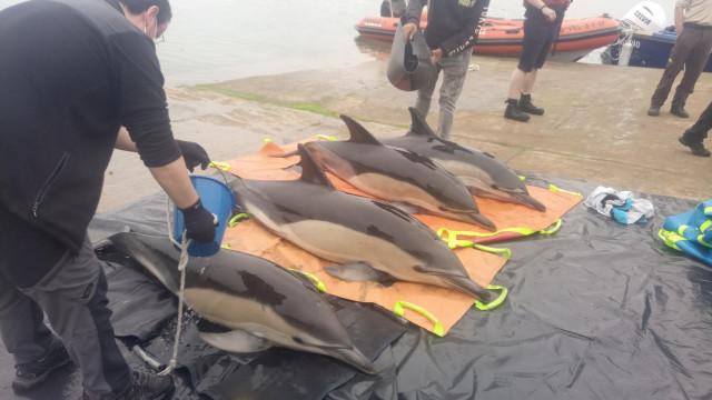 Liberados cuatro delfines que quedaron varados en la ría de Arousa