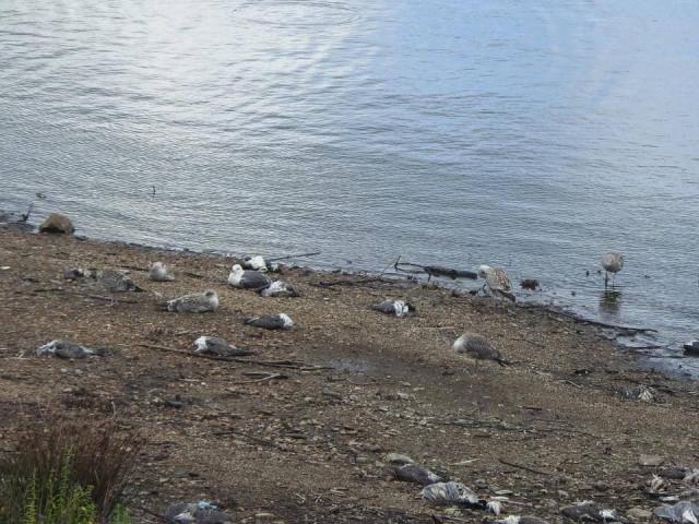 Aves muertas en el embalse de Vilagudín, Ordes (A Coruña)