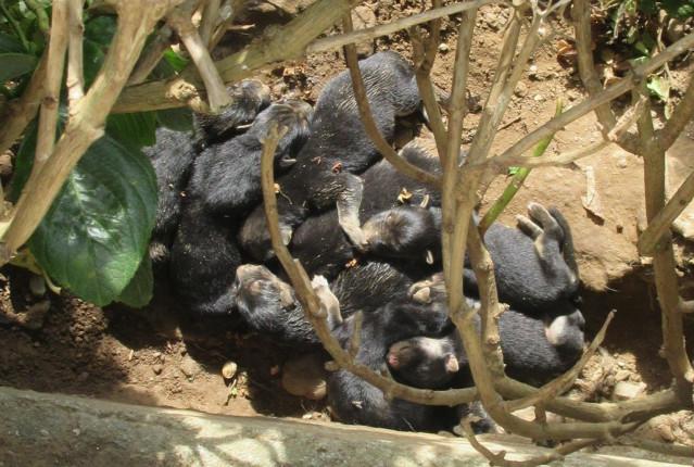 Camada de cachorros recién nacidos por cuyo abandono ha sido investigado un vecino de Ferreira de O Valadouro (Lugo) por maltrato animal.