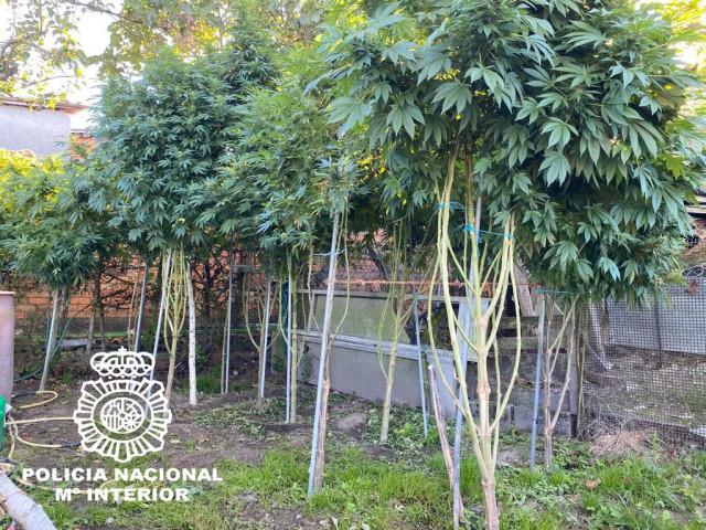 Plantación de marihuana intervenida en Ourense por la Policía Nacional.